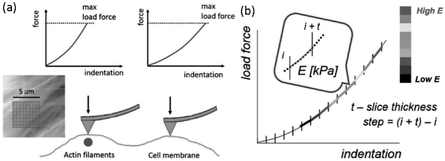 (a) The idea of stiffness tomography experimental conditions—force curves are indenting the sample surface within the scan area in a pre-defined grid