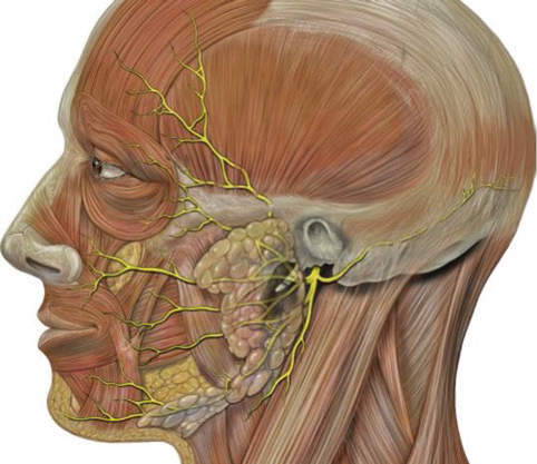 Frontal diagram showing the tissue planes superficial and slightly anterior to the TMJ
