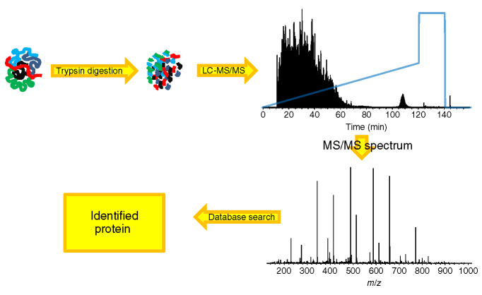 A schematic workflow of a basic proteomics experiment