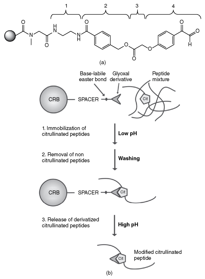 A schematic of citrulline reactive bead