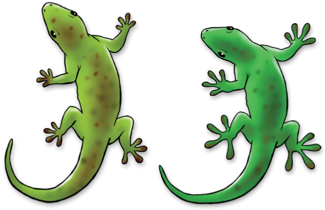 Rapid evolution of a native lizard species caused by pressure from an invading lizard species