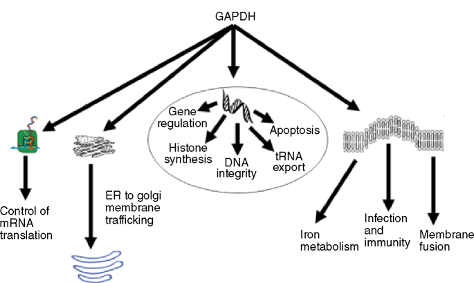 Functional diversity of GAPDH