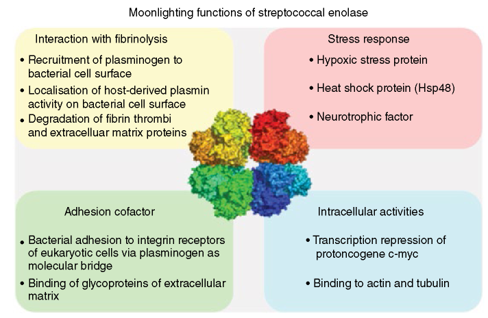 Scheme of moonlighting functions of streptococcal enolase in four categories