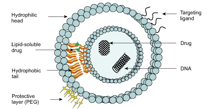 Typical bilamellar liposome structure