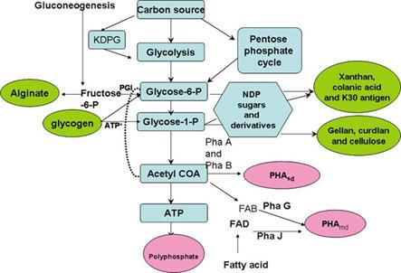 Bacterial Polymer Biosynthesis Pathways, Bacterial Bioplastic ...