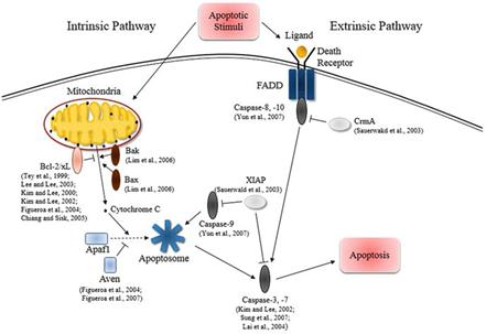 Anti Cell Death Engineering Apoptosis Animal Cell